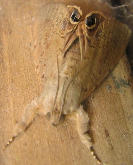 Moth - Litoprosopus futilis