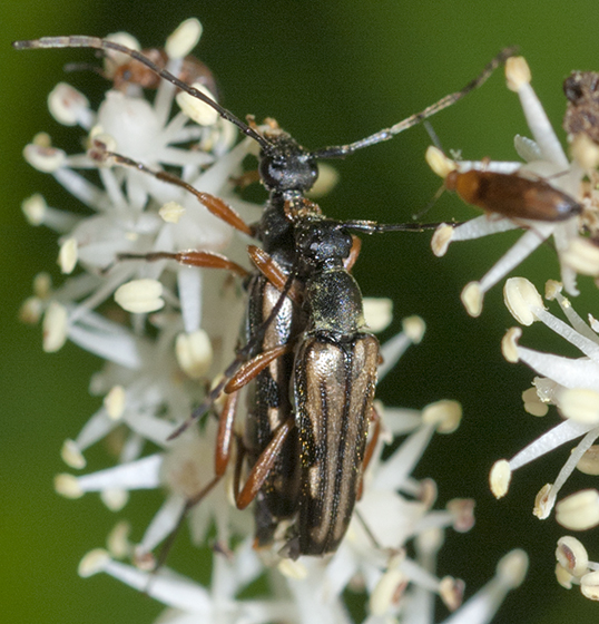 Flower Longhorn Beetles mating - Analeptura lineola - male - female