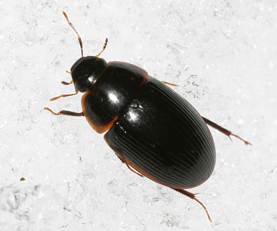 Beetle on the snow - Helocombus bifidus