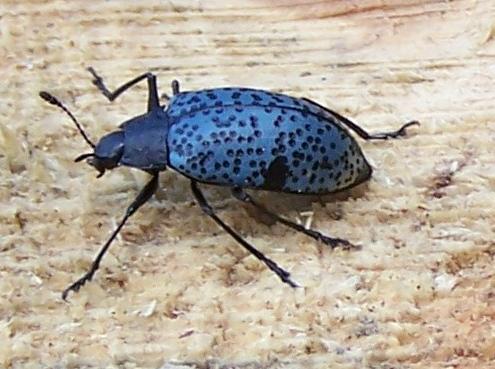 Pretty blue bug - Cypherotylus californicus