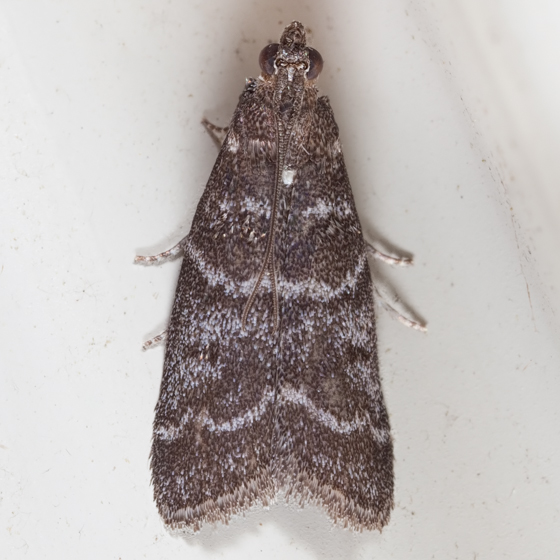 Striped Birch Pyralid Moth - Ortholepis pasadamia