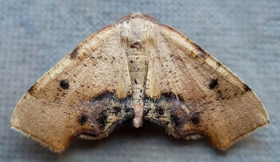 Plagodis fervidaria (Fervid Plagodis) - Plagodis fervidaria