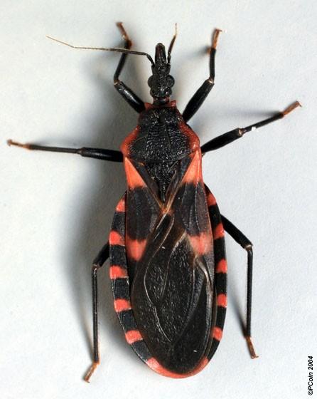 Eastern Bloodsucking Conenose - Triatoma sanguisuga
