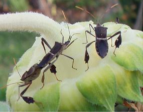 Leptoglossus zonatus on sunflower - Leptoglossus phyllopus - male - female
