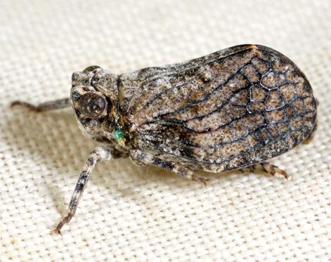 Planthopper - Tylanira ustulata