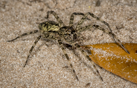 Dolomedes ID request - Dolomedes albineus - female