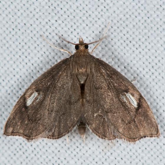 Perispasta caeculalis - male