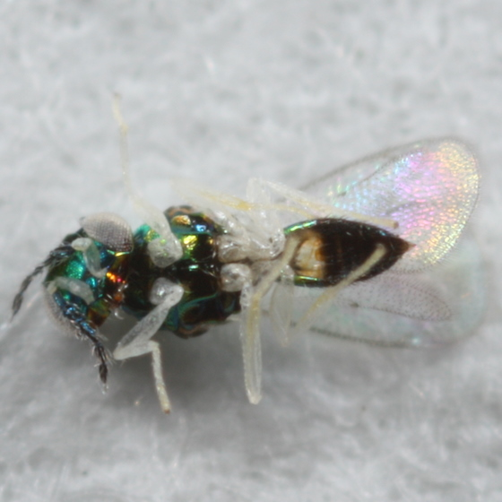Chalcid from Phyllonorycter mine - Achrysocharoides - male