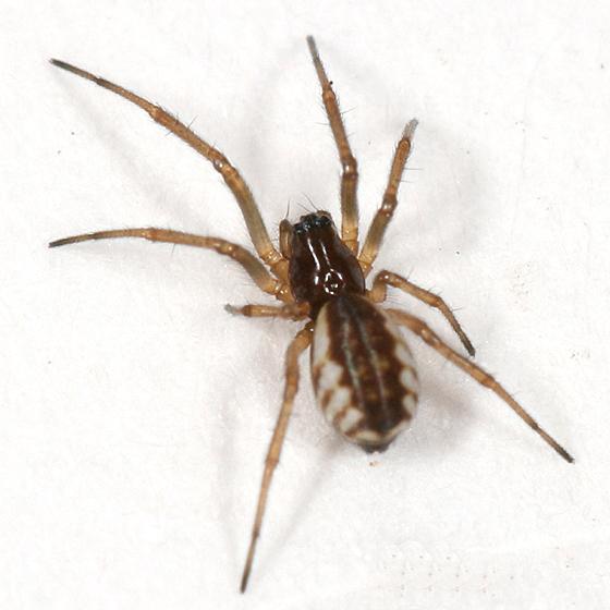 small spider - Frontinella pyramitela