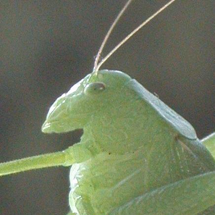 Katydid - Amblycorypha oblongifolia - female