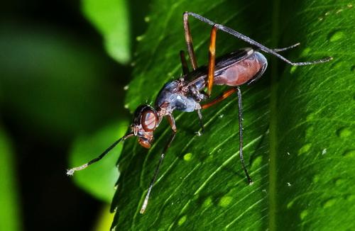 Bee?Fly? - Taeniaptera trivittata