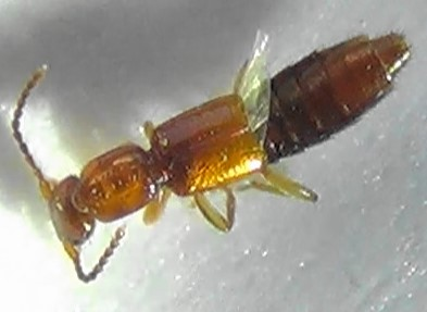 Rove Beetle - shiny