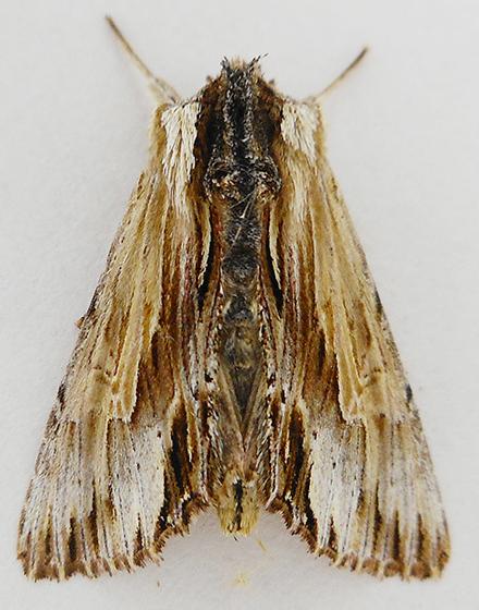 Moth - Alastria chico