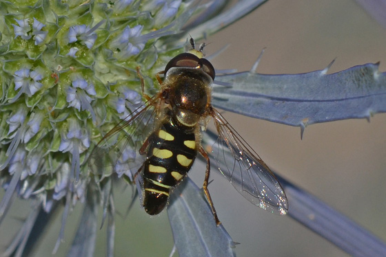 Syrphid fly - Eupeodes volucris - male