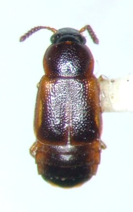 ocellate 3 - Phyllodrepa humerosa