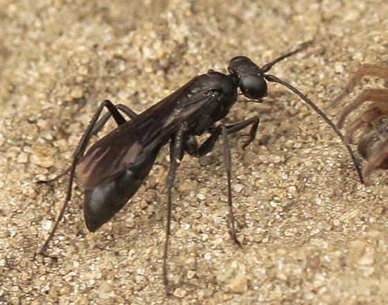 Small Black Spider Wasp - Priocnemis cornica - female