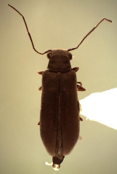Episernus sp - Episernus trapezoideus - male