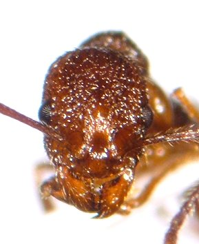 Aphaenogaster worker - Aphaenogaster mariae