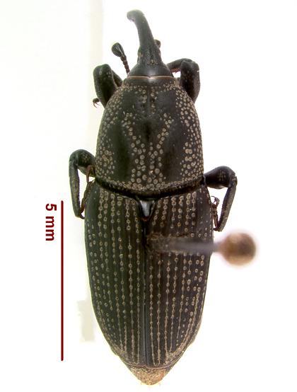 LSAM billbug 29   - Sphenophorus venatus