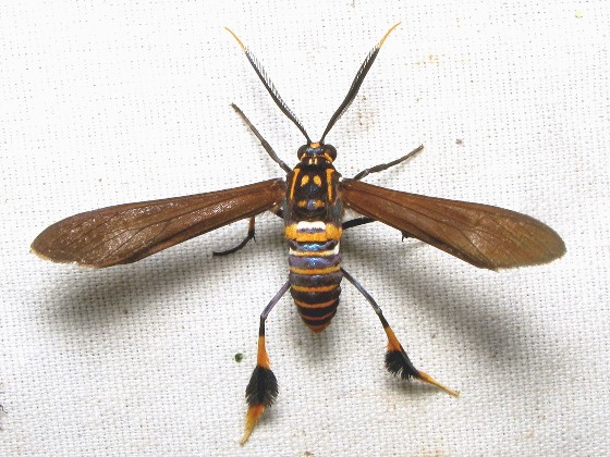 Texas Wasp Moth - Hodges #8287 - Horama panthalon