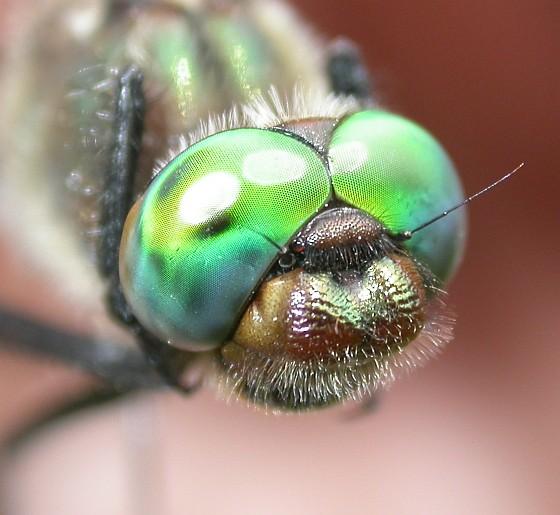 American Emerald - Cordulia shurtleffii - male