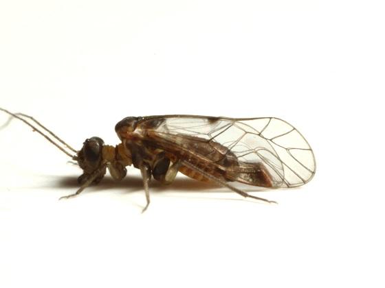 Indiposocus campestris (Aaron) - Indiopsocus campestris - male