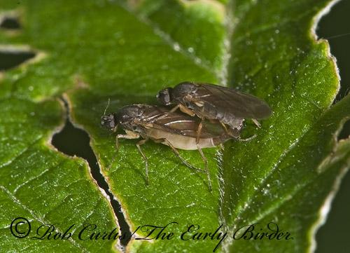 8006516 - Gymnophora - male - female