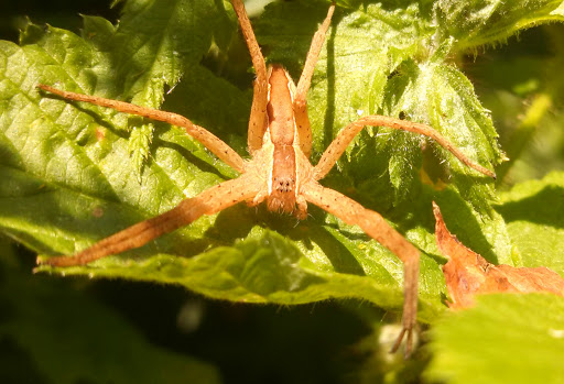 Is this a Nursery Web spider? - Pisaurina mira