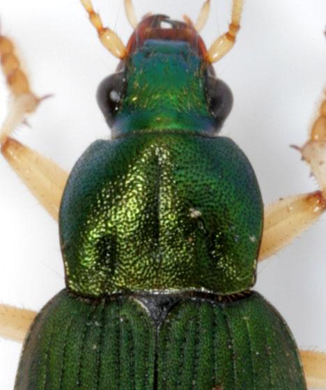 Chlaenius sericeus - male