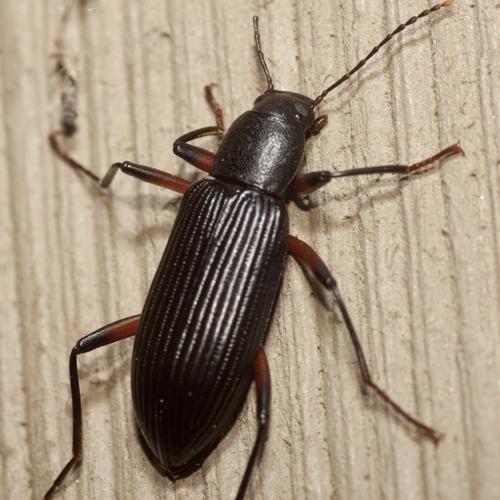 Darkling Beetle - Strongylium tenuicolle