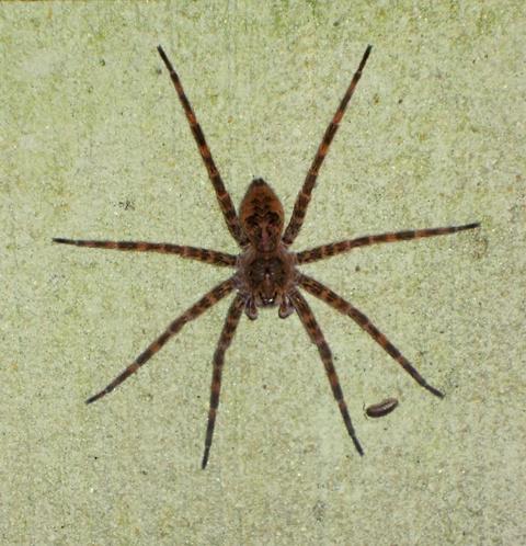 Dolomedes Tenebrosus Dark Fishing Spider Dolomedes Tenebrosus Bugguide Net