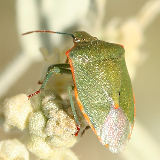 green stink bug with blue legs and red feet - Thyanta custator