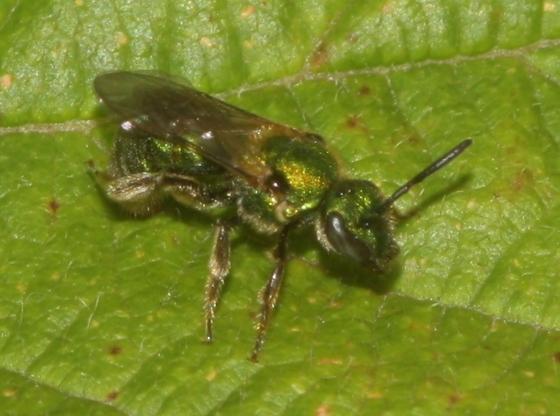 Metallic Green Bee - Augochlorella aurata