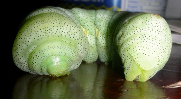 Achemon Sphinx Caterpillar - Eumorpha typhon