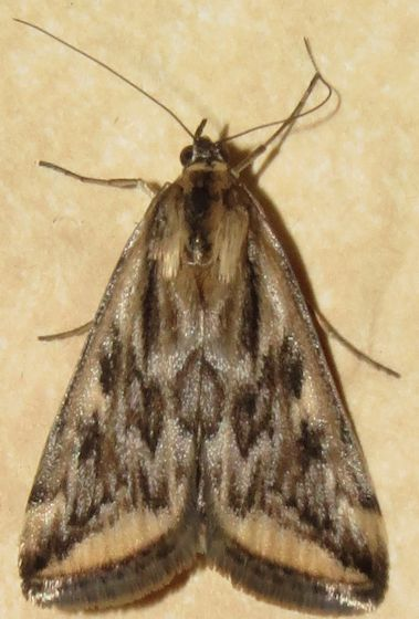 Alfalfa Webworm - Hodges#5017 - Loxostege cereralis