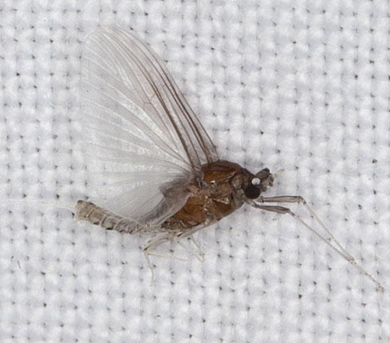 Mayfly IMG_5872 - Caenis - male