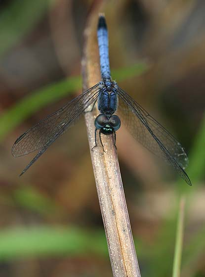 Little Blue Dragonlet - Erythrodiplax minuscula - male