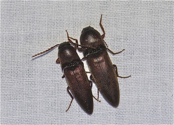 Two Click Beetles - Diplostethus opacicollis