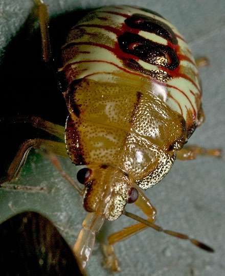 A small, but powerful, consumer of leaf-footed bugs. - Podisus