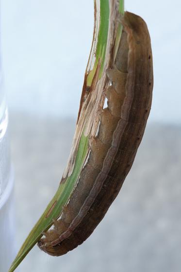 Day 21 -- Caterpillar D - Anicla infecta