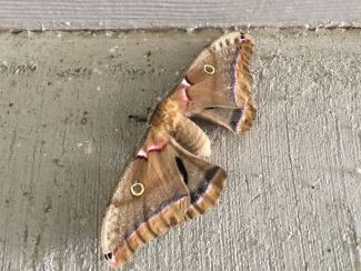 Large Moth In Breezeway Of Apartment Complex 9am Friday May 18 2018
