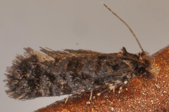 Amydria dyarella - Amydria margoriella