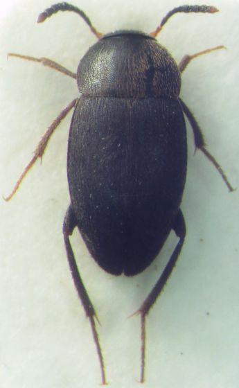 Coleoptera - Catops