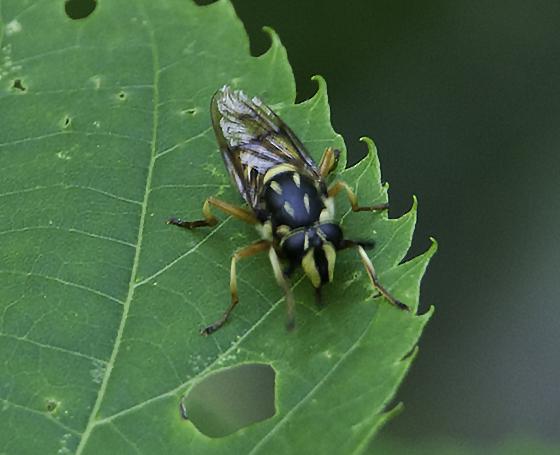 wasp mimic in tree - Sphecomyia vittata