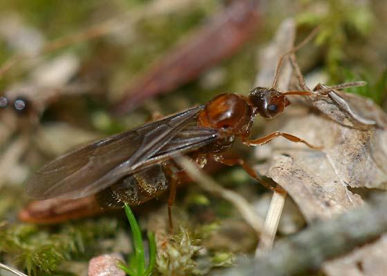 Flying Ant - Prenolepis imparis - female