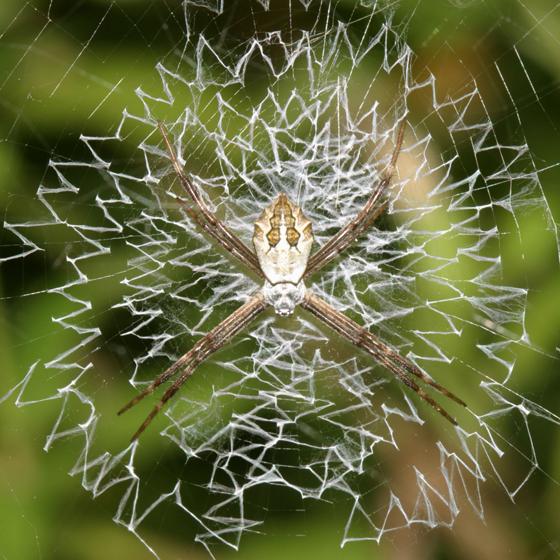 Texas spiders - Argiope argentata