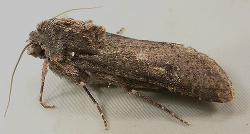 Pearly Underwing - Hodges #10915 - Peridroma saucia