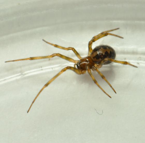 Spider In Kitchen In Kentucky   Steatoda Triangulosa   Female