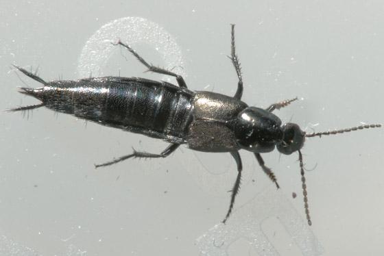 Rove Beetle Perhaps? - Philonthus cognatus