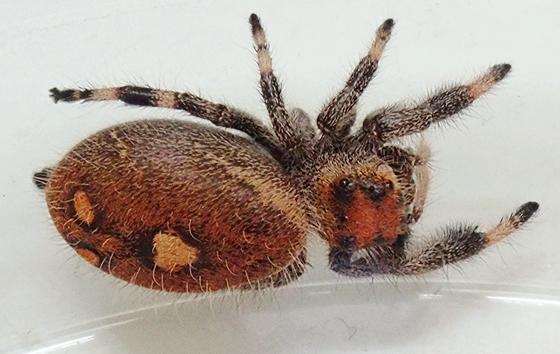 Phidippus regius - female
